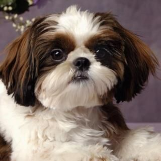 Cutie Shihtzu Shih Tzu Puppy Shih Tzu Shih Tzu Dog