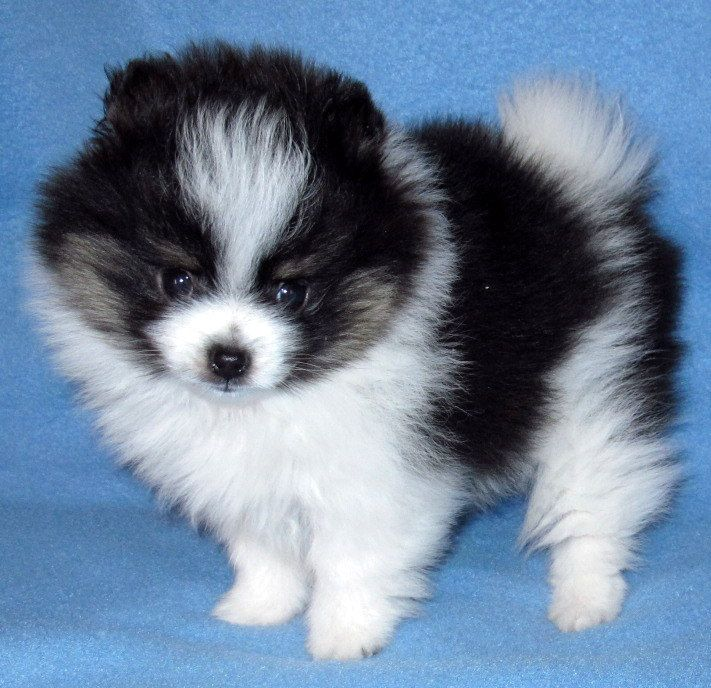 GABRIELLE'S AMAZING FANTASY CLOSET | Anne's Pomeranians | Specializing in parti and exotic colors.