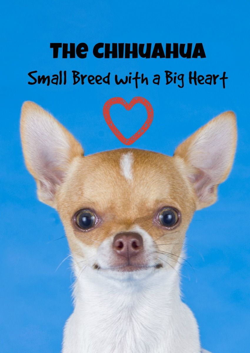 The Chihuahua Small Breed Dog with a Big Heart Cute