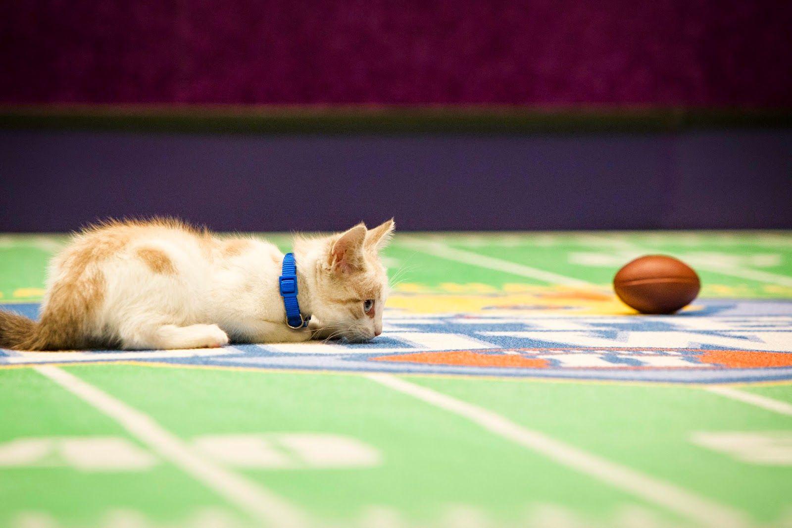 Photos From Hallmark Channel S Kitten Bowl Ii Kitten Bowls Puppy Bowls Kitten