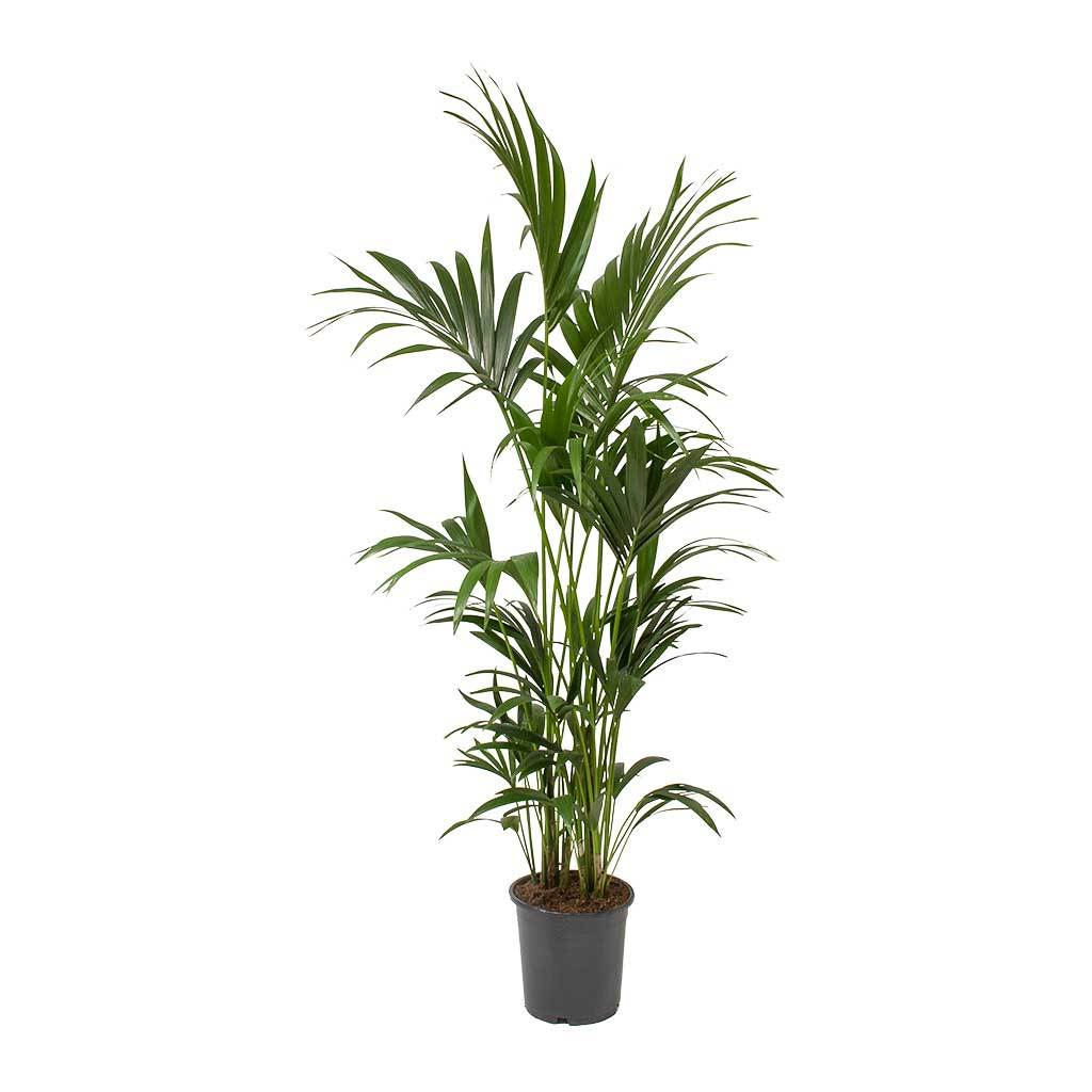 Howea forsteriana Kentia Palm 24 x 140cm in 2020