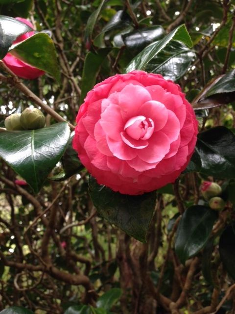 Still Enjoying The Beautiful Camellia Flowers On The Many Trees At The Teapot Cottage Gardens 2 19 14 Photo By Antoinette Tea Mistres Flowers Tea Pots Cottage