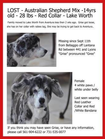 Lost Senior Female Dog Reward West Boca Raton Austrailian Shepherd Mix 14 Yrs Old 28 Lbs Female Spayed Tri Color Black Wh Losing A Dog Lake Worth Dogs