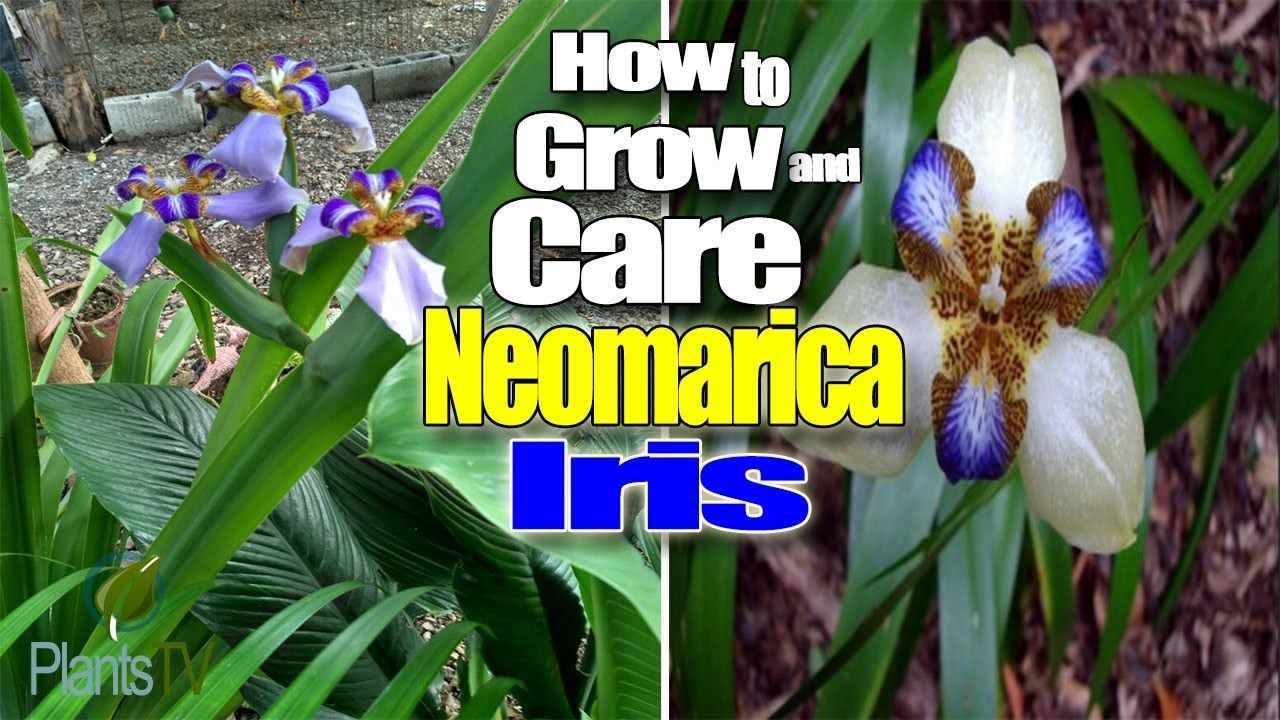 Look How To Care And Grow For Neomarica Iris Youtube Walking Iris Apostle Iris Zone 8 Shade Garden Plants Walking Iris