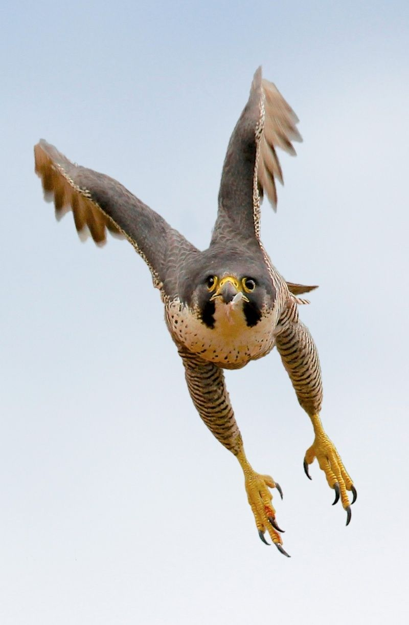 Peregrine Falcons Can Reach Speeds Up To 200 Mph When Diving Towards Prey Peregrine Falcon Birds Animals