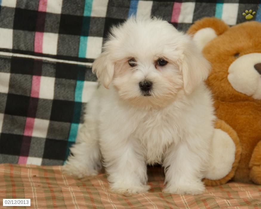 Thomas Maltese Puppy For Sale In Lewisburg Pa Maltese Puppy