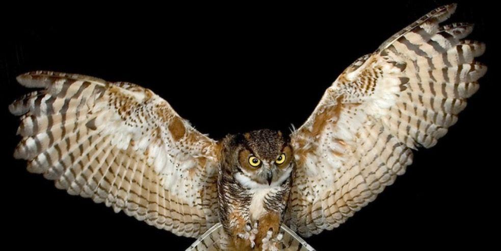 Owl wing reference | OC anatomy | Pinterest