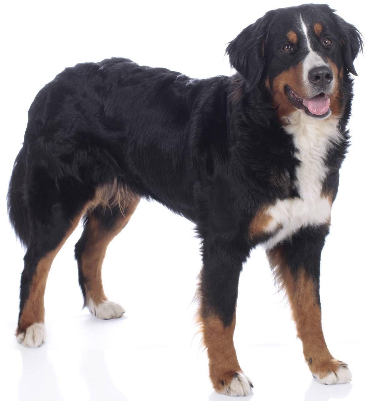 Bernese mountain dog breed guide mountain dog breeds