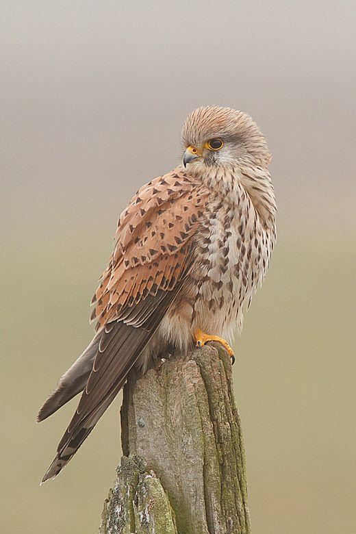 Kestral Red Hawk