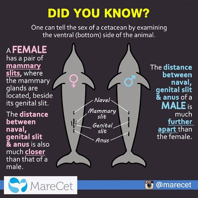 #marecetdidyouknow 041 #marecet #cetacean #morphology #sexdetermination #female #male #educationandawareness #learning