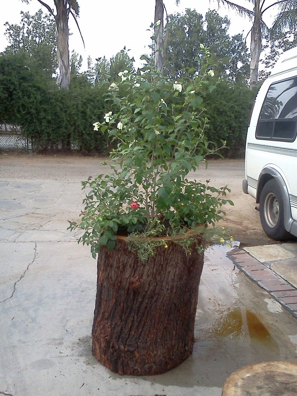 Extra large planter with a white hibiscus and red roses