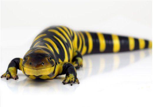 タイガーサラマンダー Tiger Salamander Salamander Amphibians