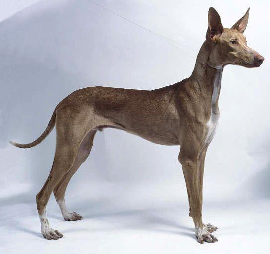 Cretan Tracer Primitive Dog Krhtikos Skylos Dog Breeds Dog Line Dog Breeds Pictures