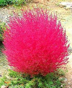 Kochia Burning Red and Green 200 Pcs Seeds Bonsai Garden Buy 2 Get 1 Extra Free #Handmade #bonsaiplants