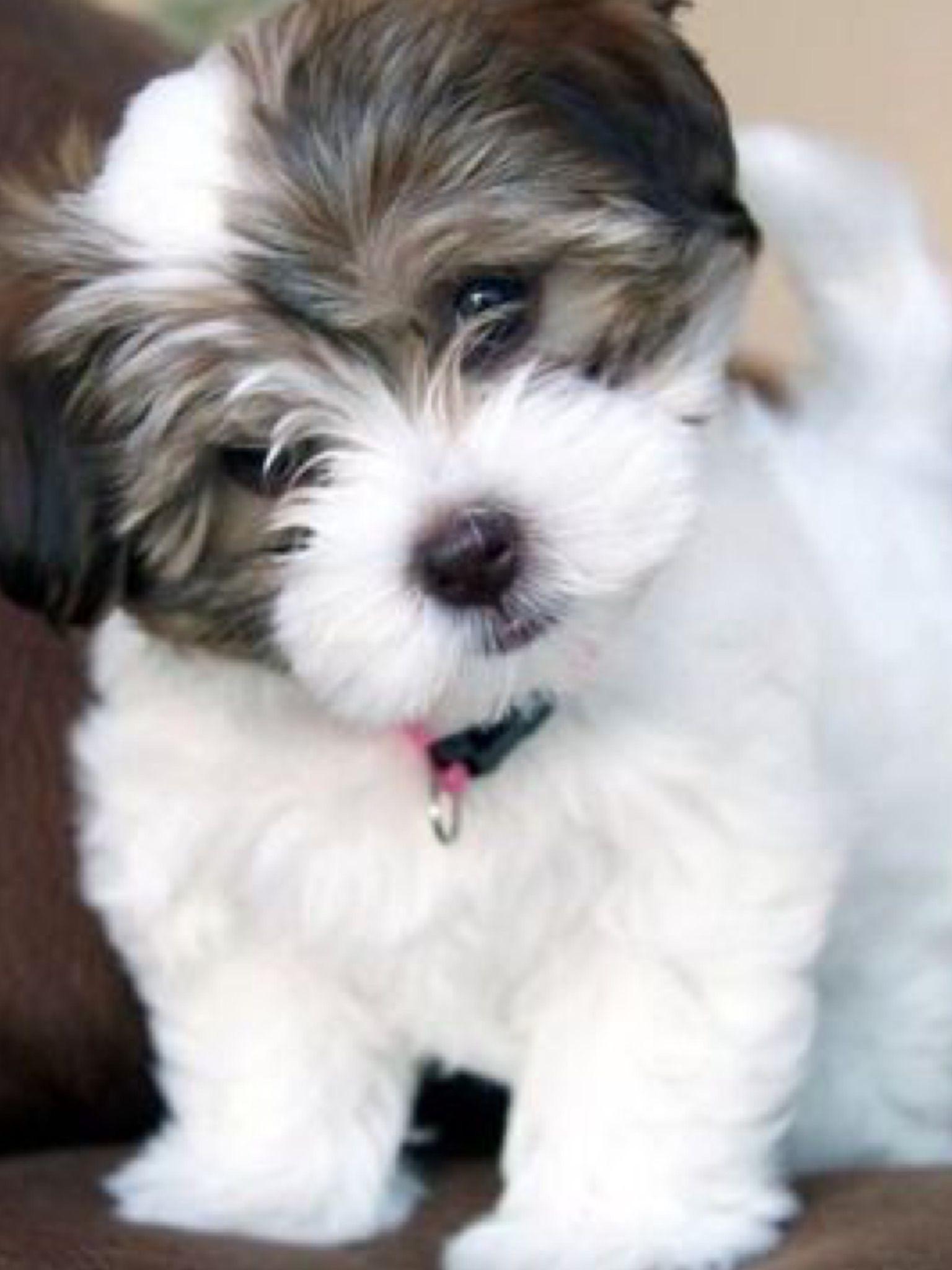 Baby Shihtzu Puppies Havanese Dogs Havanese Puppies