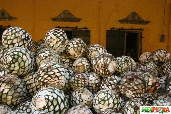 piña del agave  de donde destila el tequila en Tequila Jalisco