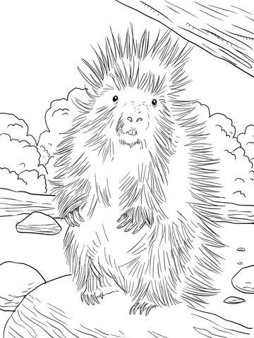 Puercoespín Norteamericano Dibujo para colorear | animales ...