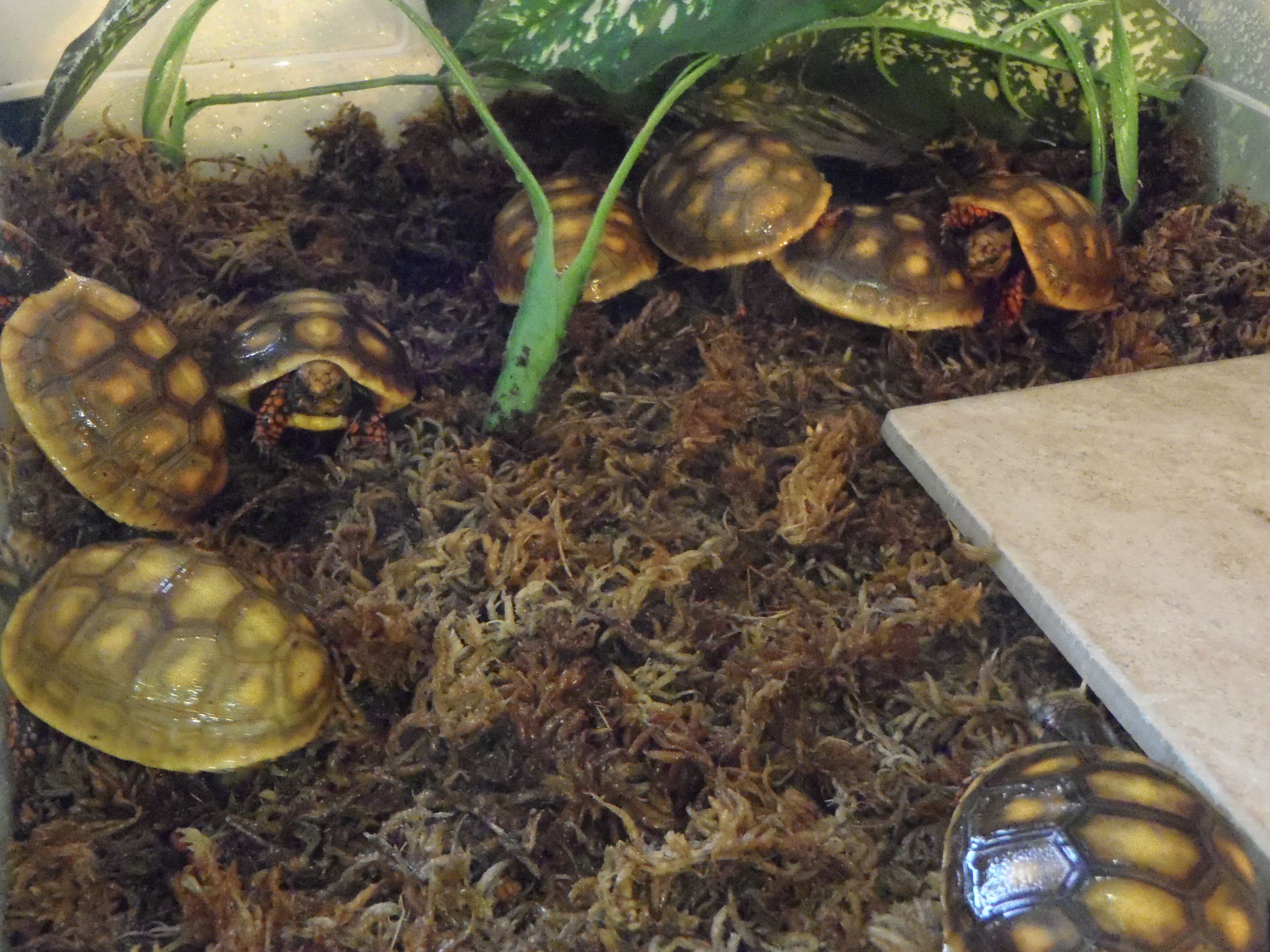 8 baby Redoot tortoises running for cover after eating and getting a ...