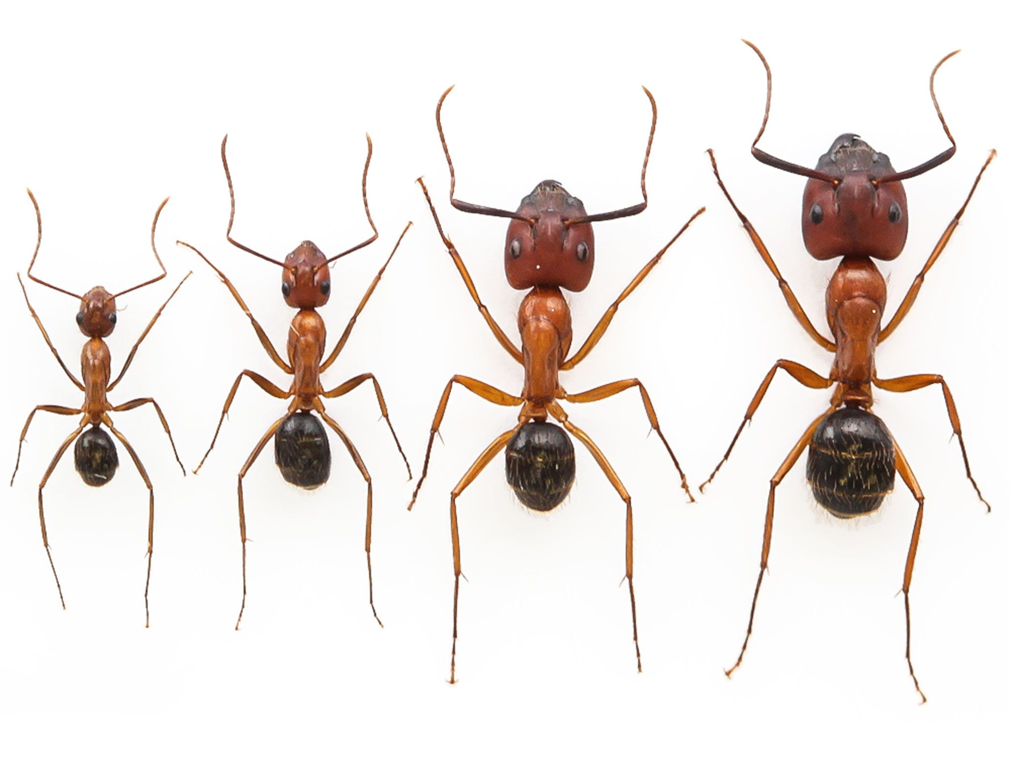 Researchers nearly double the size of worker ants   Researchers have ...