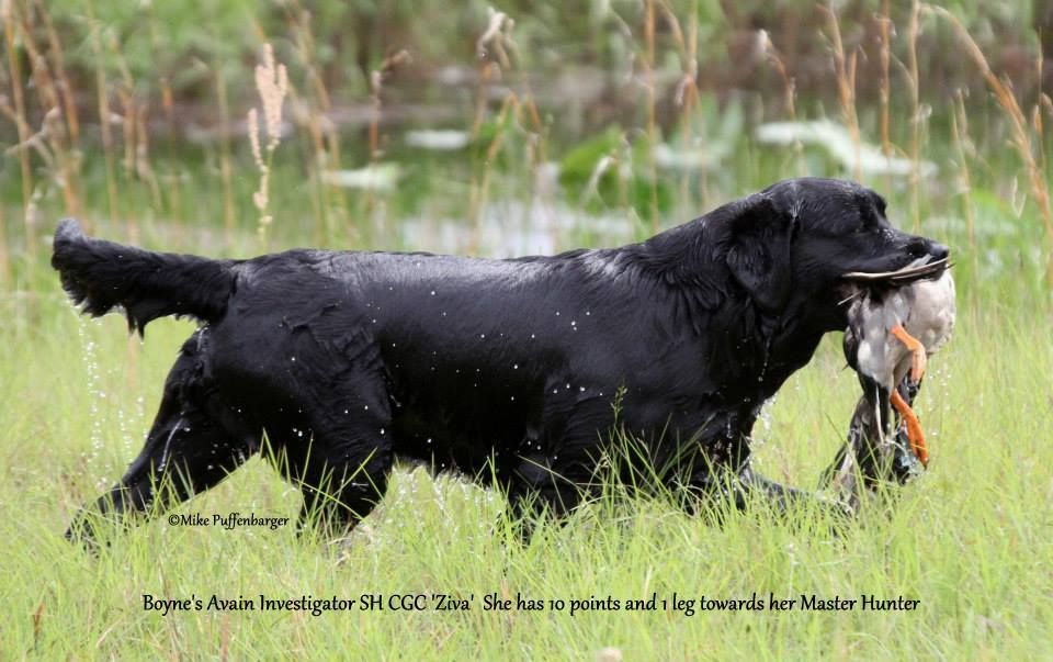 Hunter Labrador pic