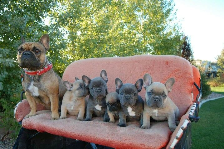 French Bulldogs Raised It Beautiful Utah Find Us On Facebook At