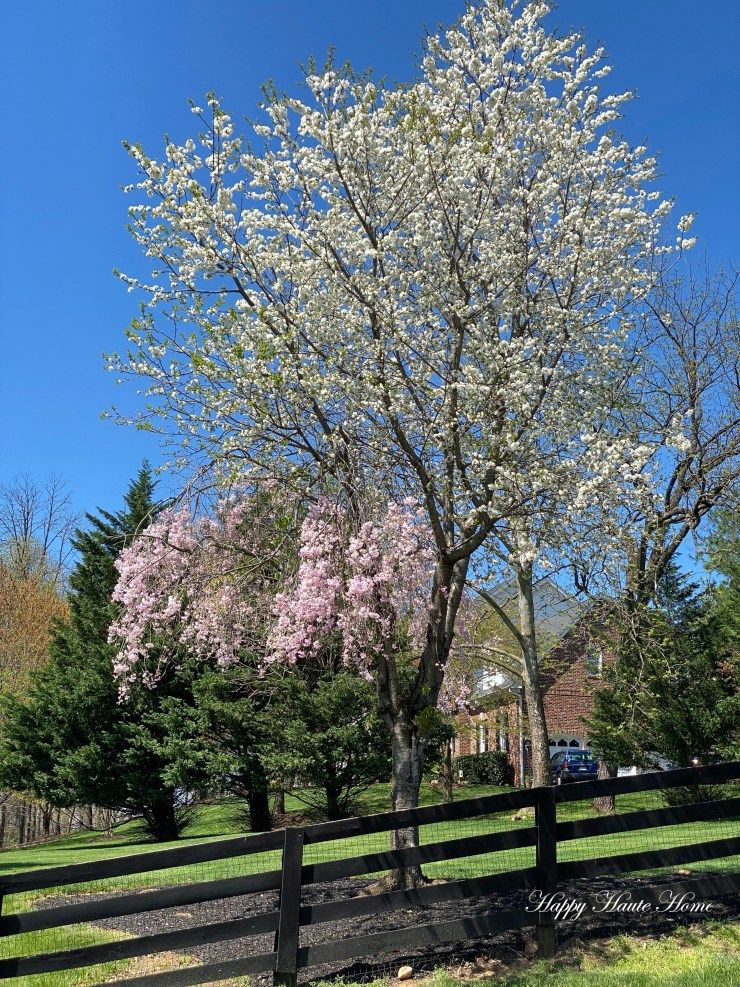 Why A Weeping Cherry Tree No Longer Weeps Or Only Partially Weeps Happy Haute Home Weeping Cherry Tree Cherry Tree Wheeping Cherry Tree