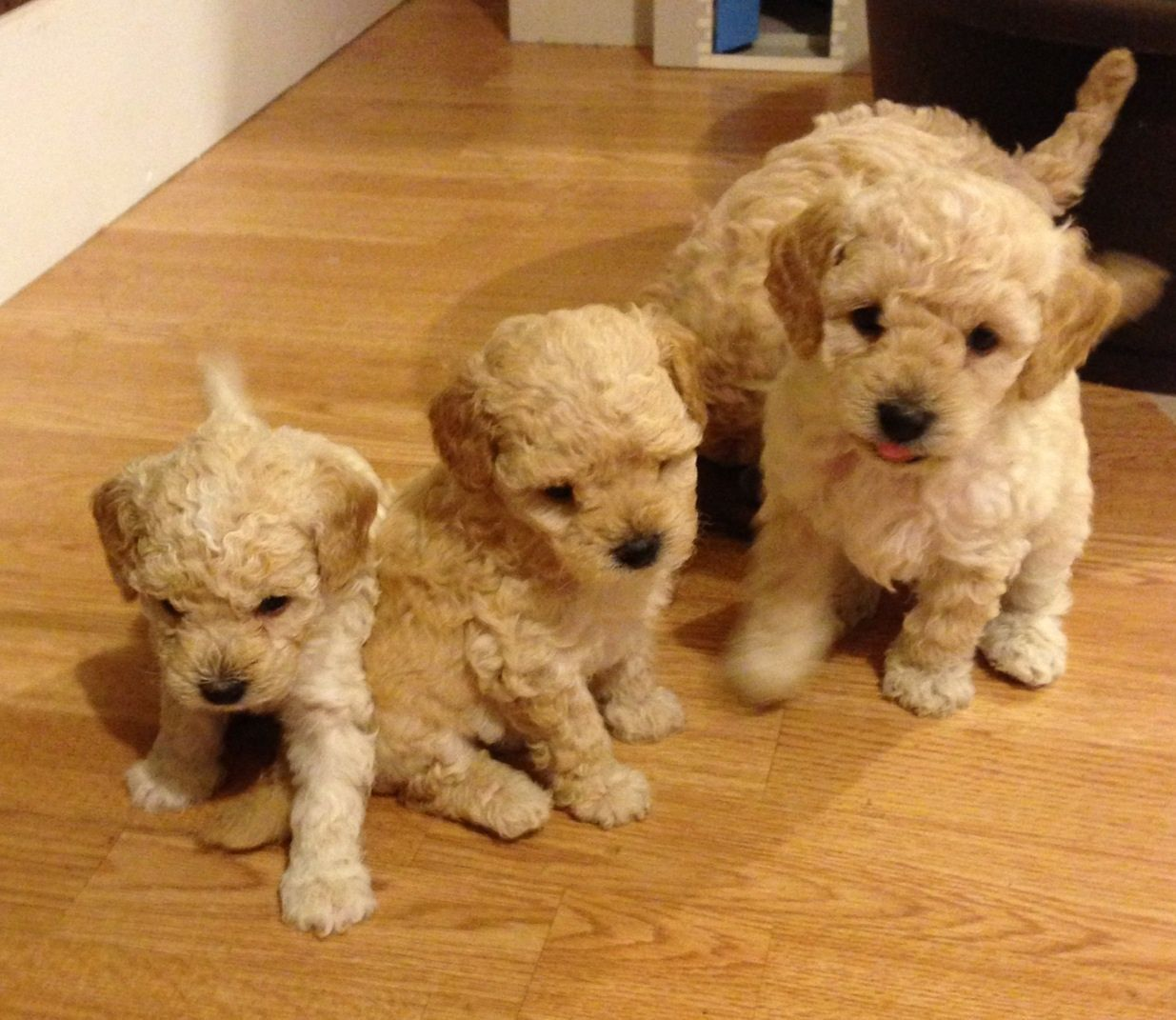 Kc Toy Poodle Puppies Romford Essex Pets4homes Toy Poodle