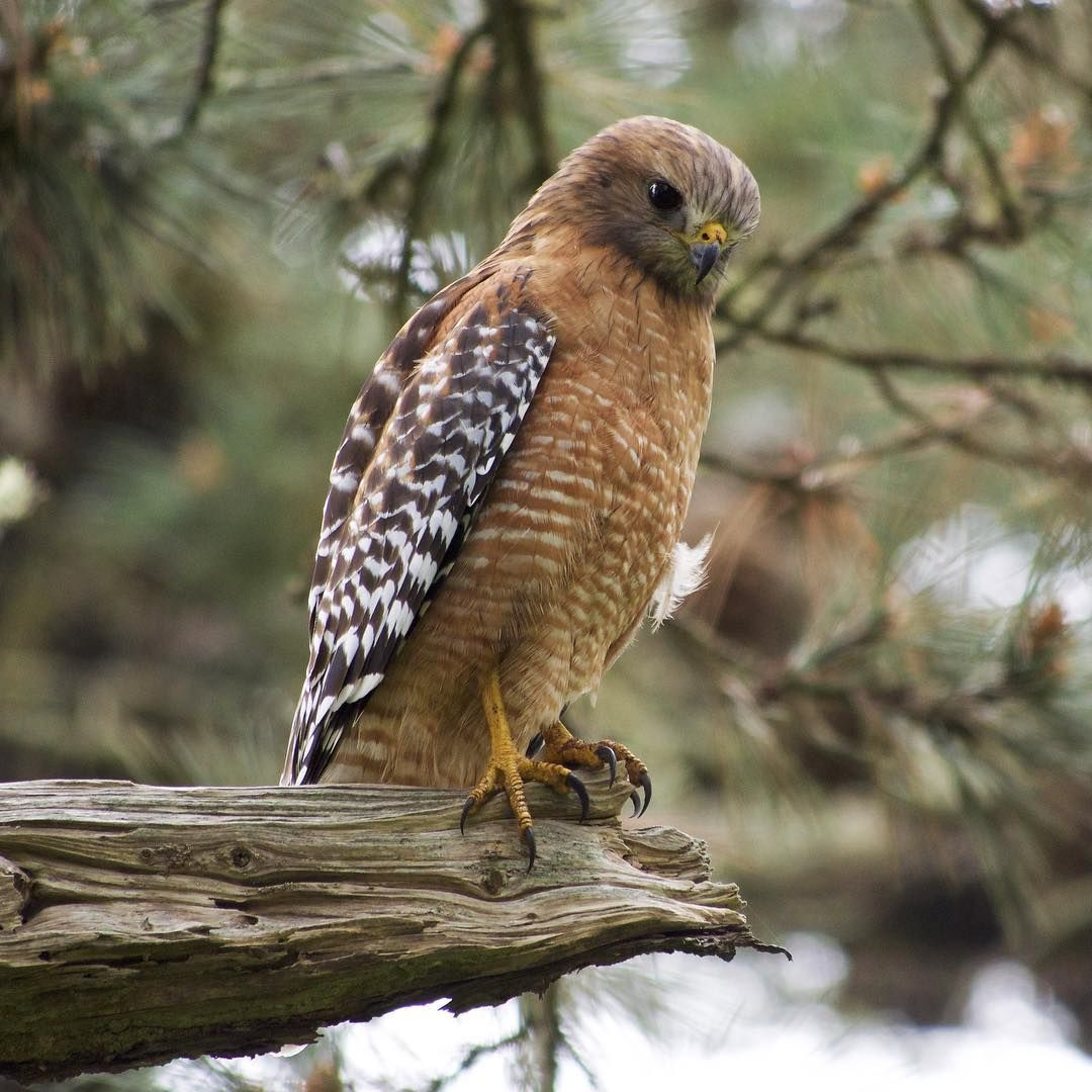 For Redshouldered Hawks in most northern states, their