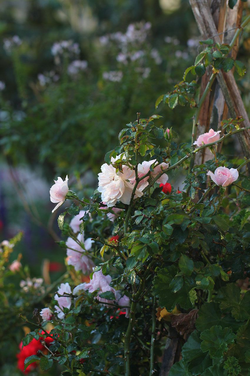Rambling pink roses in my cottage-garden style garden by Lilibet Stanley