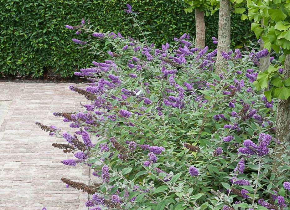 The colorful flowers of this fast-growing bush attract butterflies and hummingbirds all summer long,... - provenwinners.com