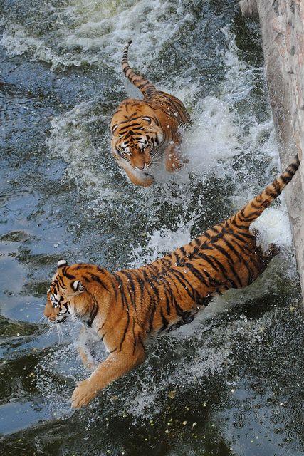 Tiger splash!