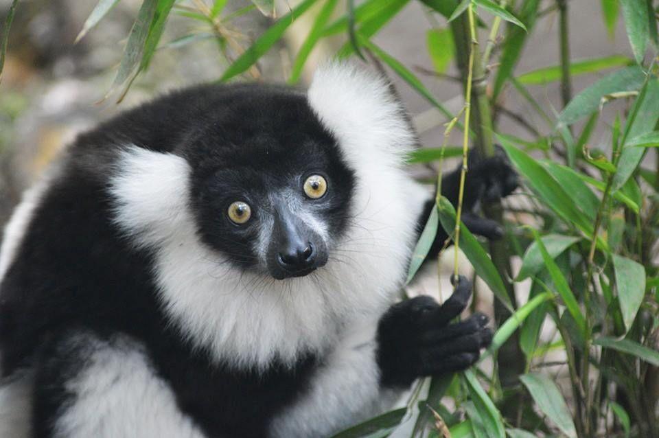 Black and White Ruffed Lemur by Storm Hayward - Photo 64198729 - 500px