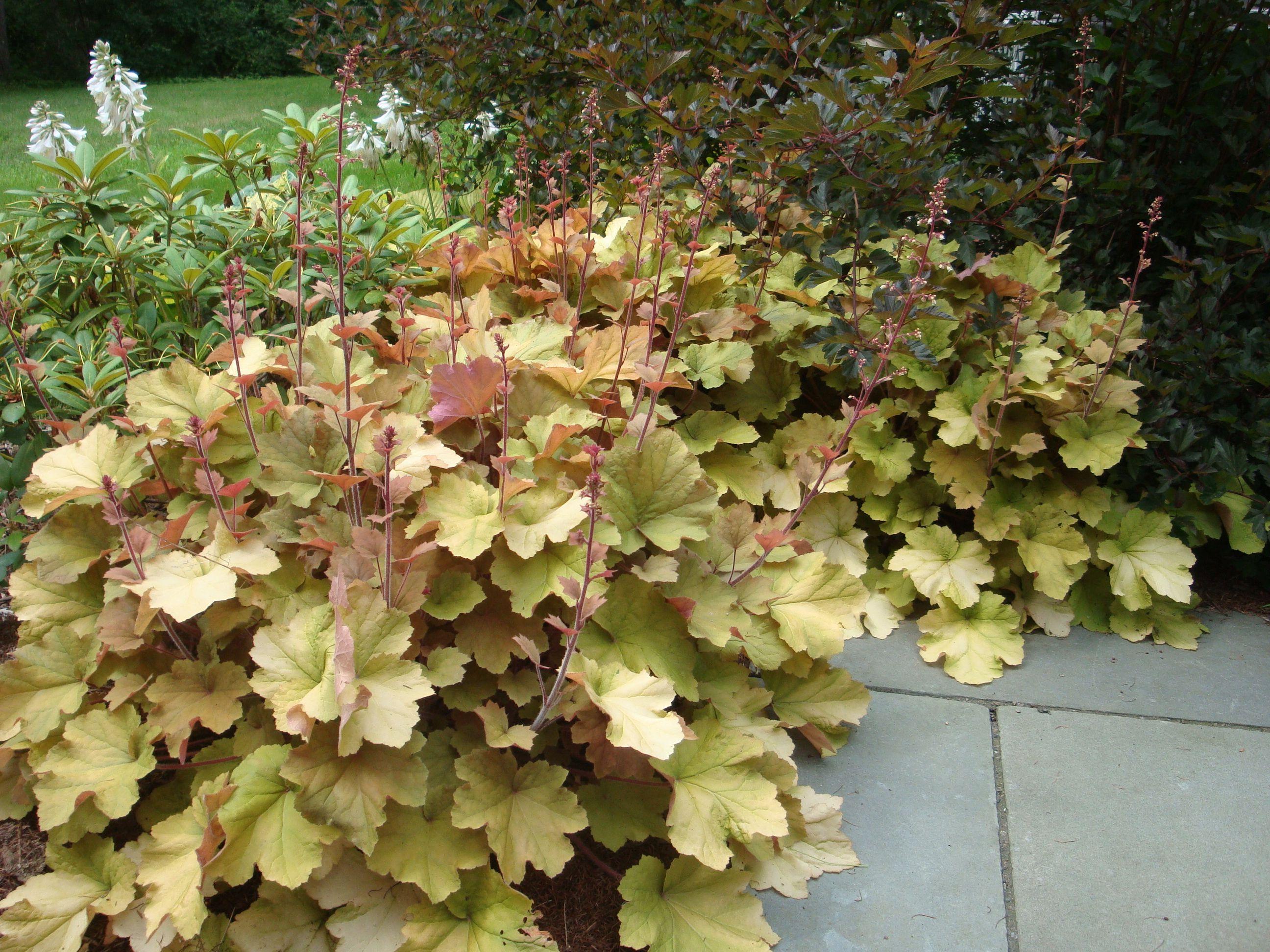 Heuchera \'Caramel\' & Physocarpus \'Summer Wine\'   Plant Combinations ...