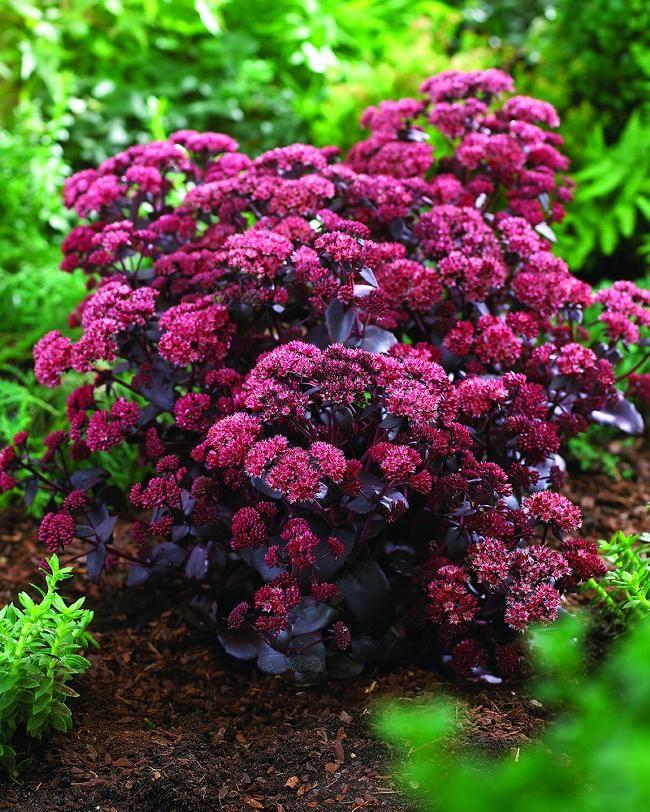 Purple foliage sedum sedum purple emperor flower orders purple foliage sedum sedum purple emperor altavistaventures Images