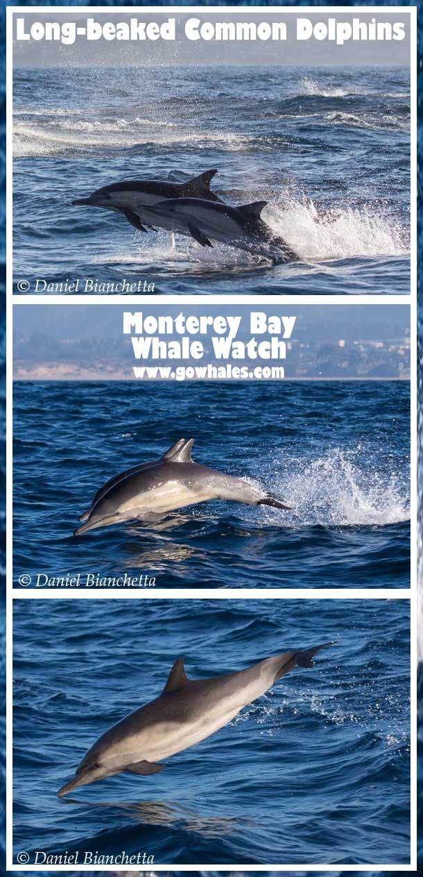 Long-beaked Common Dolphins Photos by Daniel Bianchetta 2/2/15 - Monterey Bay Whale Watch  | re-pinned by http://www.wfpblogs.com/author/nicolerichards/ #worlddolphinday