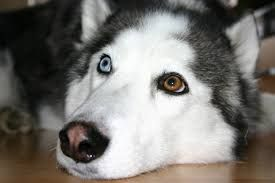 Image Result For Images Of Huskies With Green Eyes Siberian