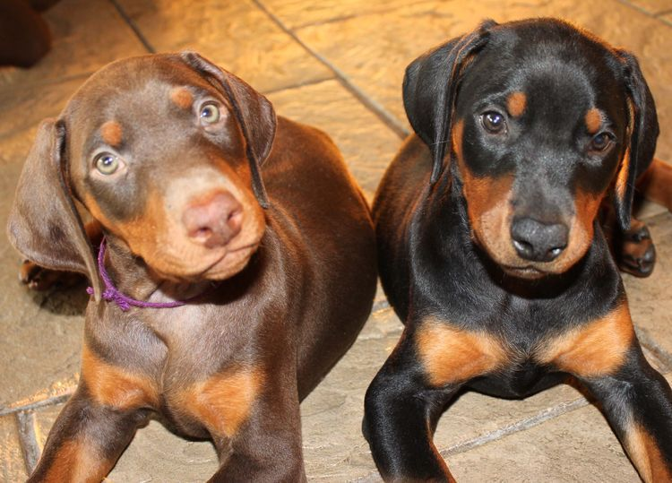 Love The Red And Rust Dobies With Images Doberman Puppy
