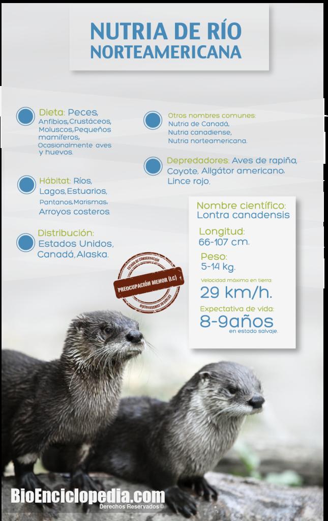 Nutria de río norteamericana. #Infografía | Infografías | Pinterest ...