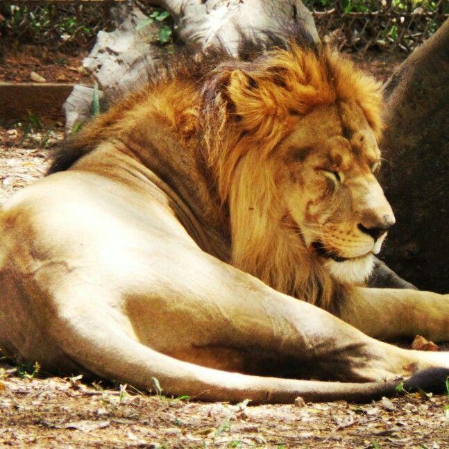 Simba At Mysore Zoo India Mysore Zoo Wildlife Animals