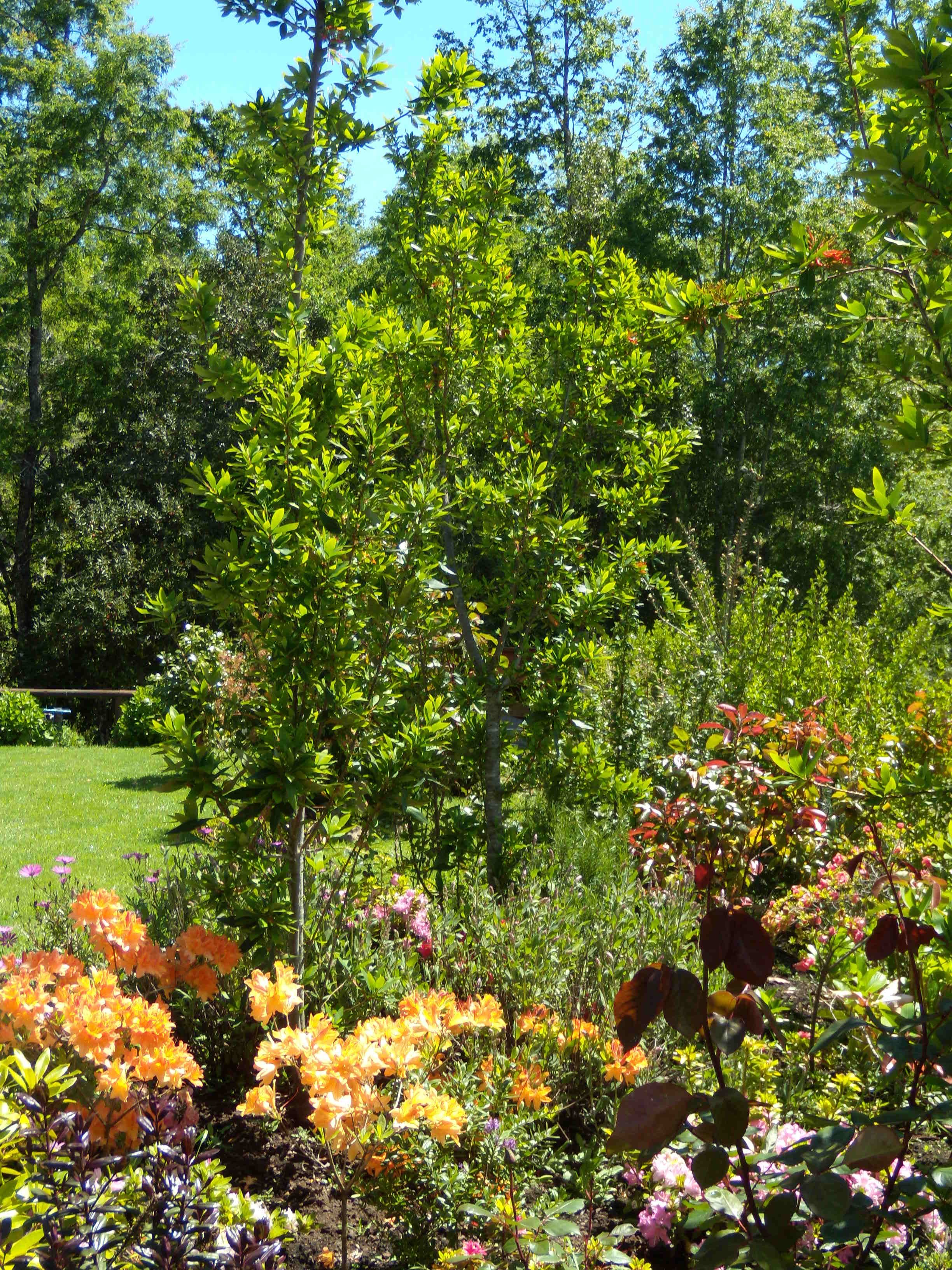villarrica chile rboles nativos y flores en mi jardn en villarrica u pucn