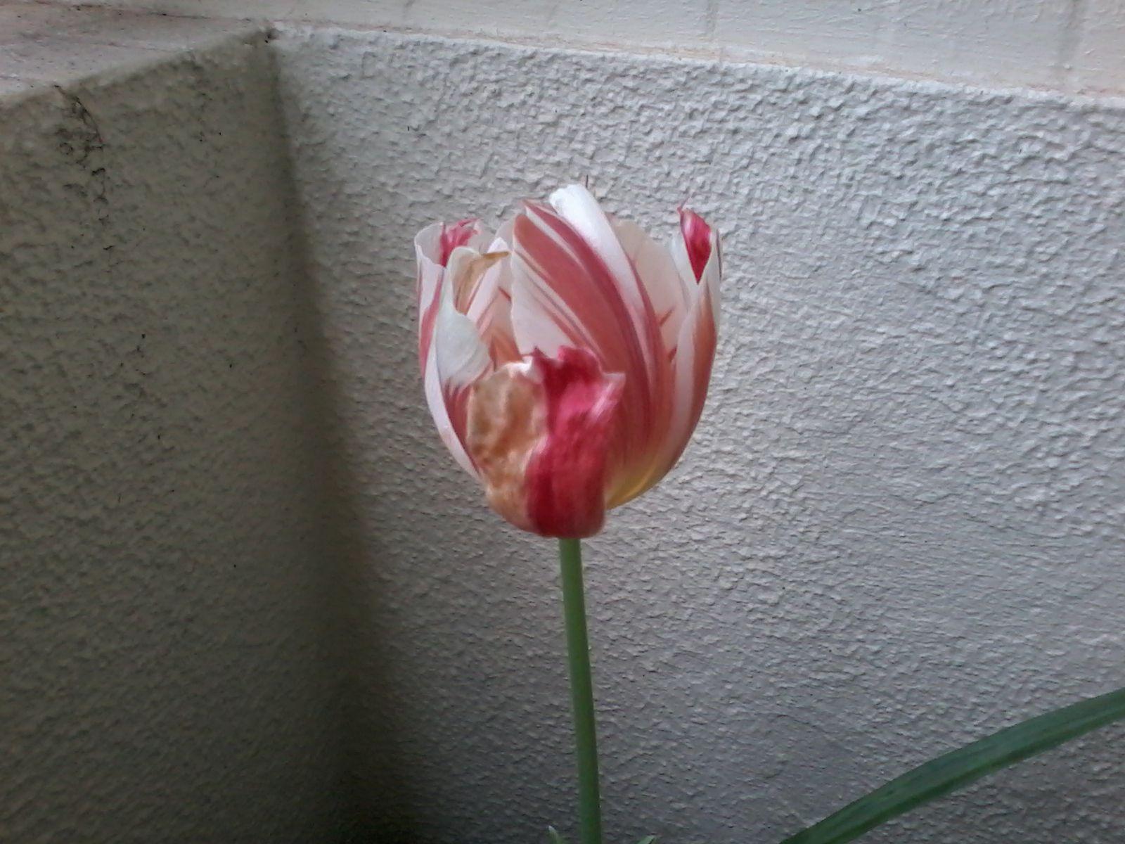Tulipa- janeiro 2014