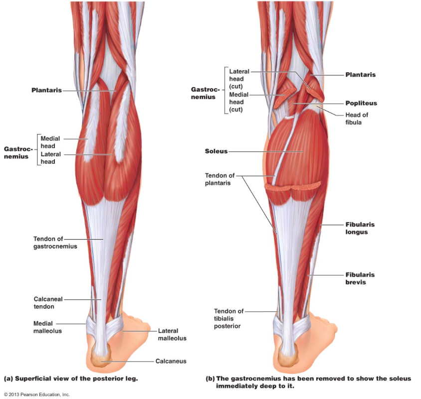 how to build calf muscle quickly