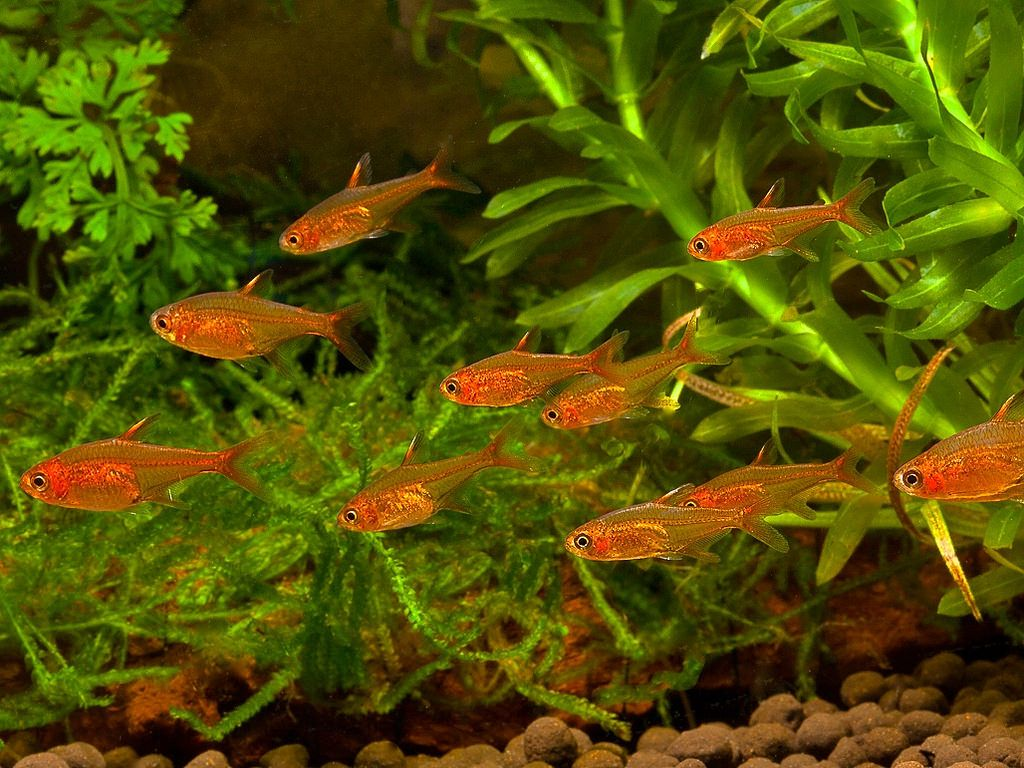 Neon tetra for sale aquariumfish net - Fish Tanks Ember Tetra School