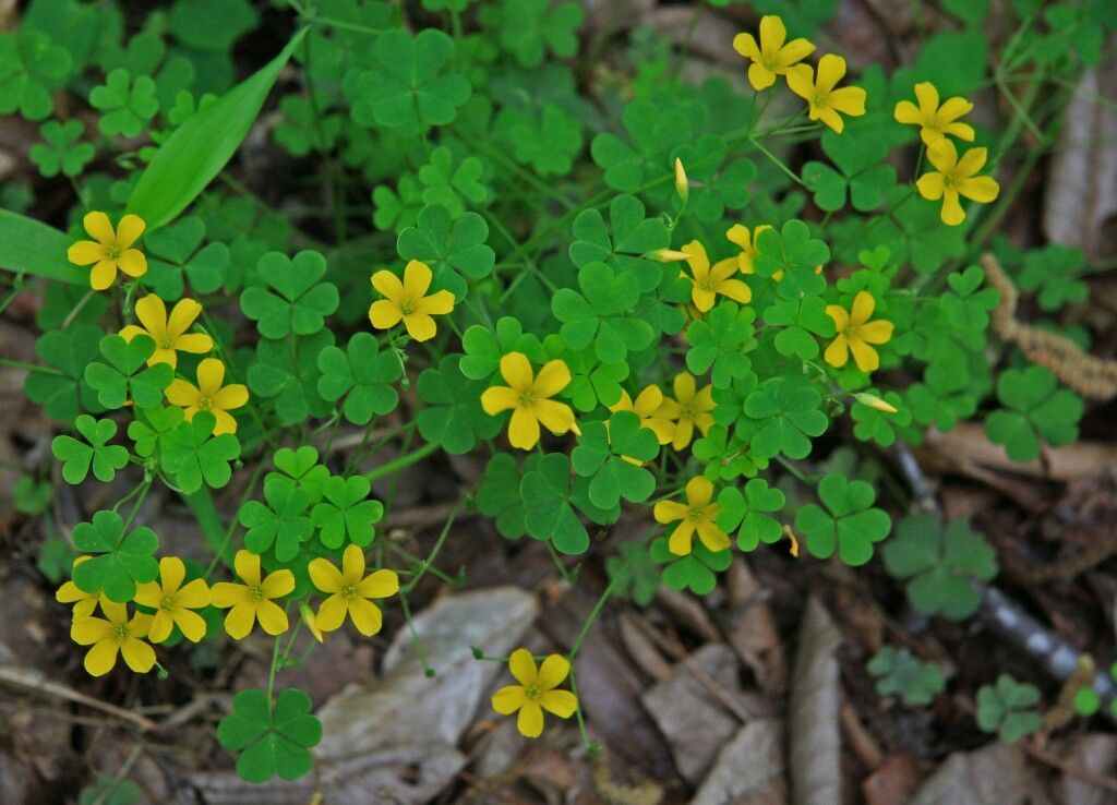 Yellow wood sorrel or oxalis clover like leaves and small yellow yellow wood sorrel or oxalis clover like leaves and small yellow flowers seed capsules resemble tiny cucumbers a vigorous grower that thrives in mightylinksfo