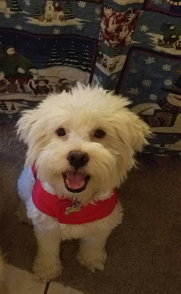 Poodle Miniature Dog For Adoption In Phoenix Az Adn 467437 On
