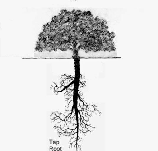 Image Result For Taproot Of An Oak Tree