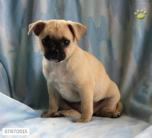 Chugs Puppy For Sale In Pennsylvania Chug Puppies Puppies
