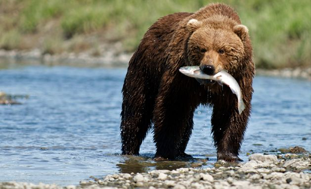 Our Home Page Stay Wild Bear Animal Activism