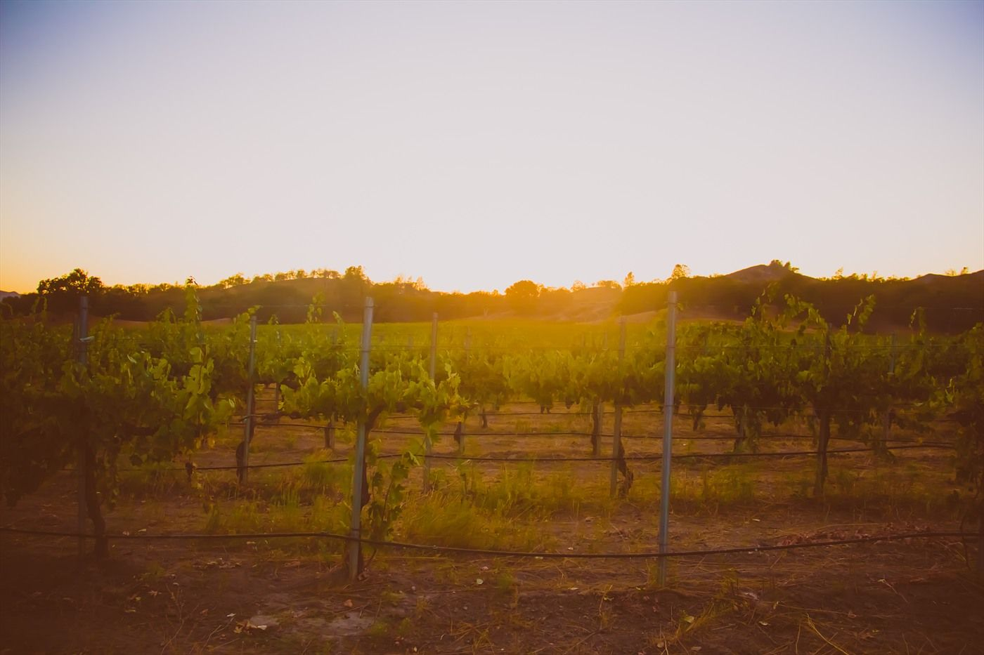 Our stunning vineyard in Pozo, CA. Vintage Cowboy Winery