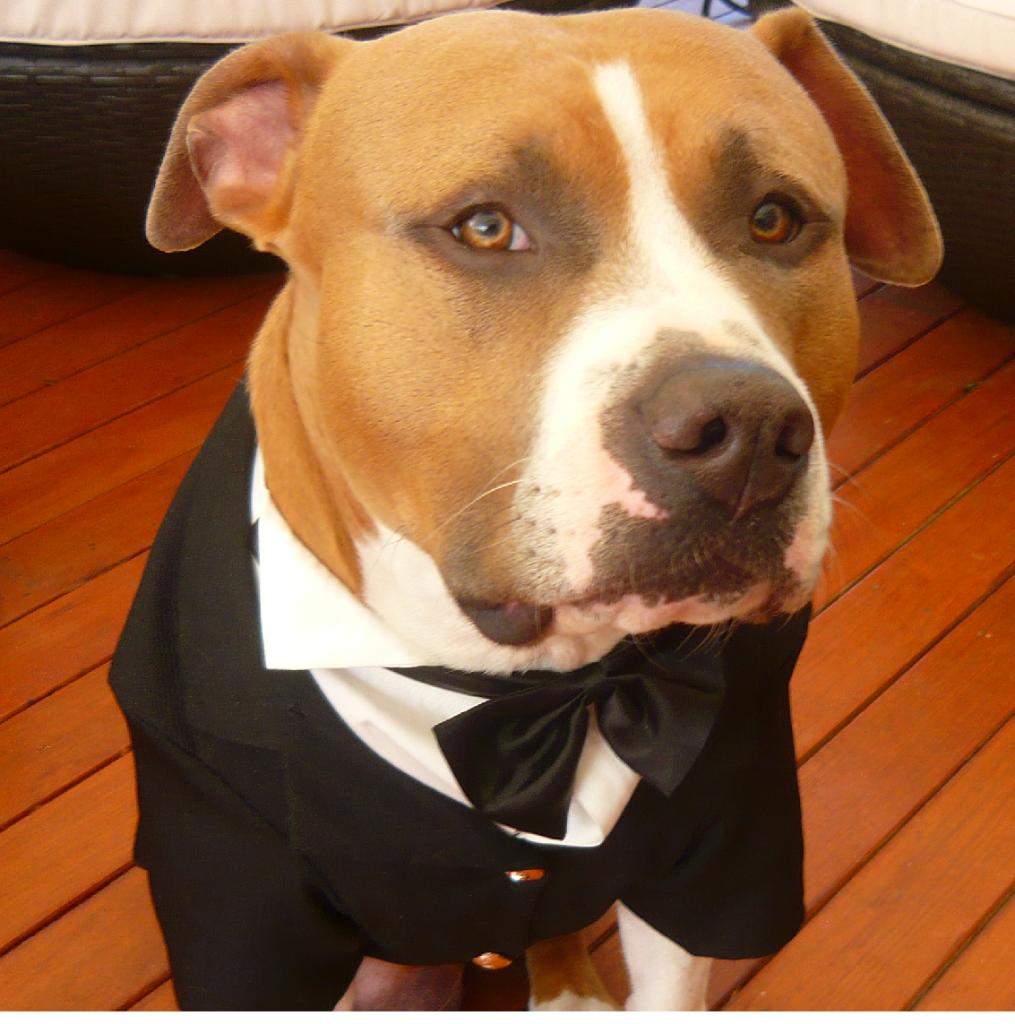 BIG DOG TUXEDOS WEDDING LARGE DOG GROOM FORMAL BRIDAL COAT JACKET ...